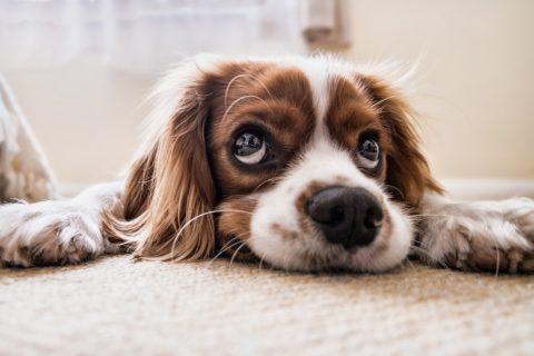 Bandscheibenvorfall bei Hunden